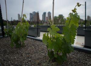 une-petite-exploitation-vinicole-installee-sur-un-toit-de-ne_2638323